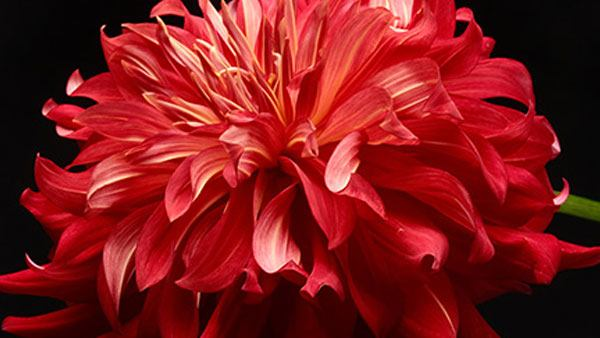 fujifilm-gfx-50r-flower